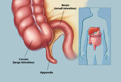 cecum-and-appendix