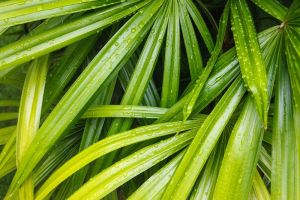 Bamboo-Palms-Rain-Drops.jpg.1000x0_q80_crop-smart