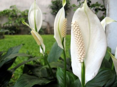 Peace-Lily-Blooms-Yard.jpg.1000x0_q80_crop-smart.jpg