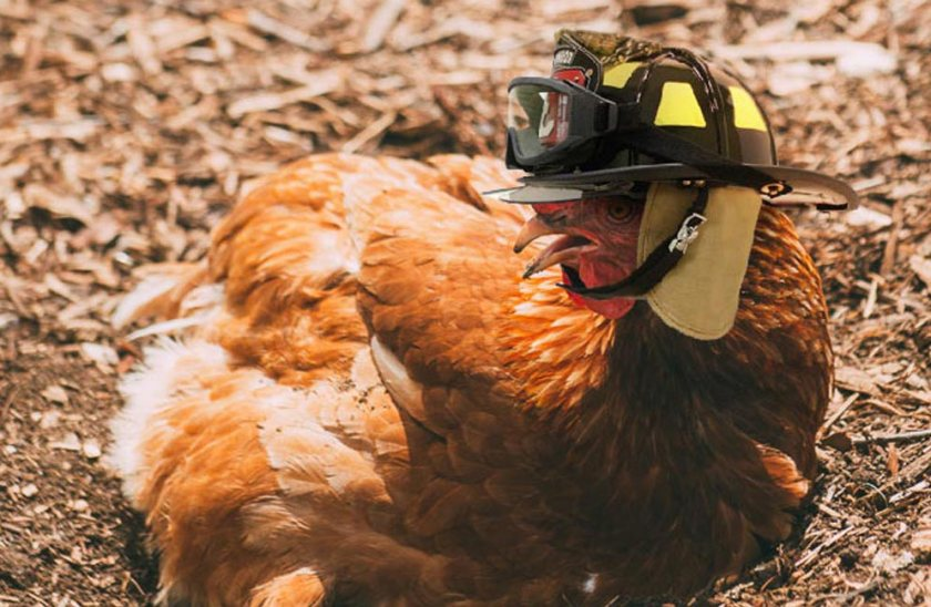 Chicken-Firefighter-Halloween
