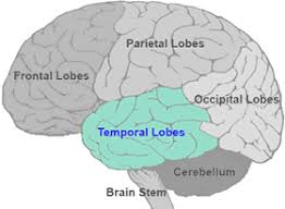 temporal lobe.jpeg