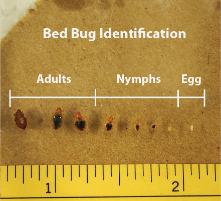 Bed-Bug-pictures-eggs-and-adults-02.png