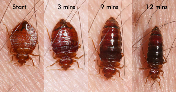 bed_bug_feeding_sizes.png